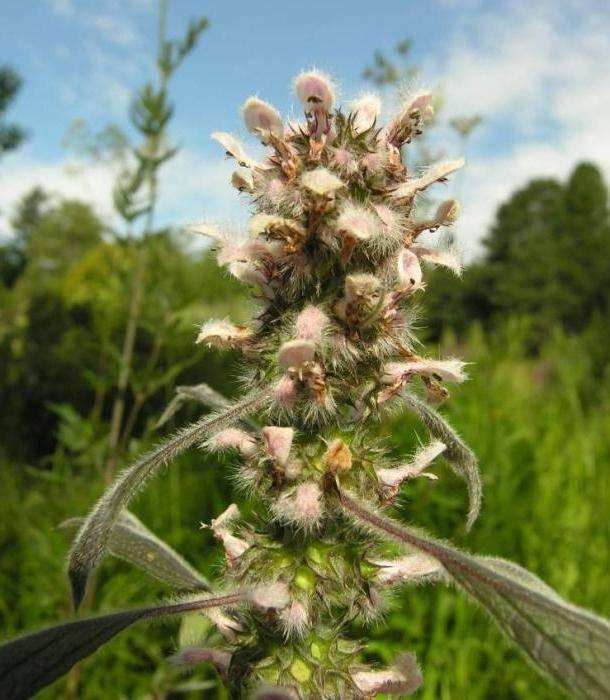 Трава пустырник, лечебные свойства и противопоказания