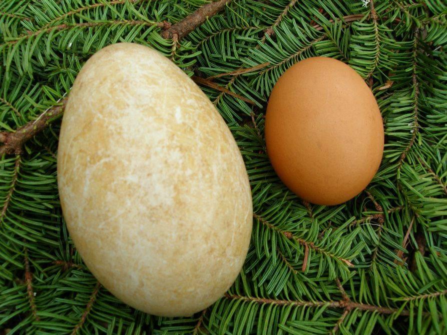 Гусиное яйцо польза и вред как употреблять