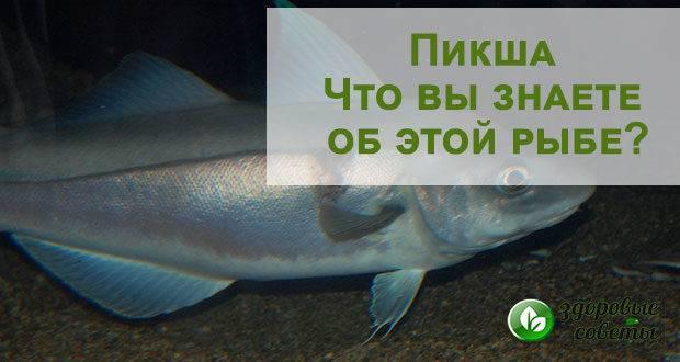 Рыба пикша: польза и вред