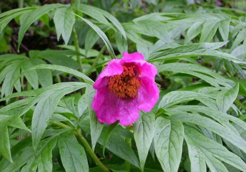 Марьин корень: лечебные свойства и противопоказания
