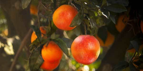 Апельсины: чем они полезны и кому их нельзя есть