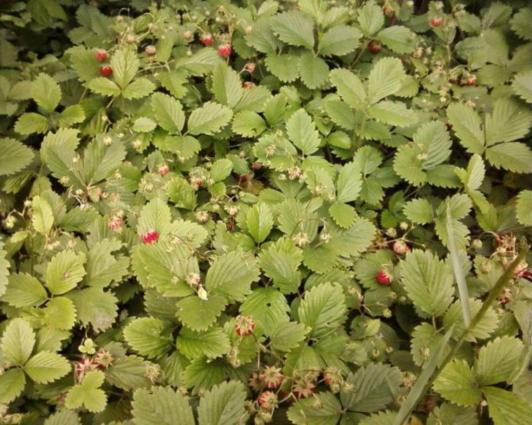Листья земляники — лечебные свойства и противопоказания