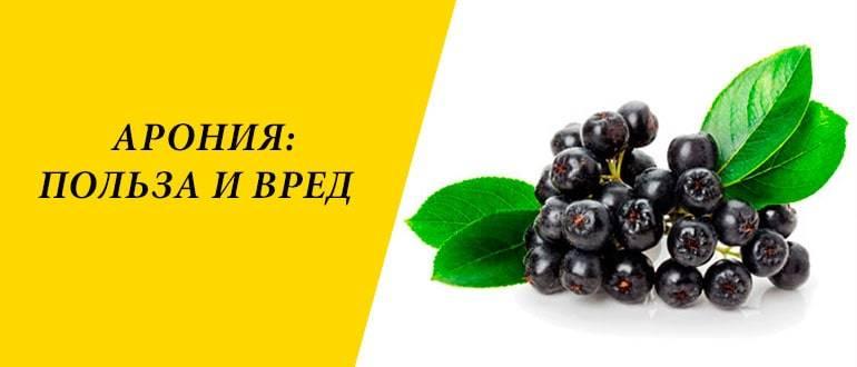 Вред и польза черноплодной рябины