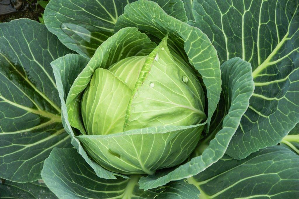 Польза, применение и противопоказания белокочанной капусты