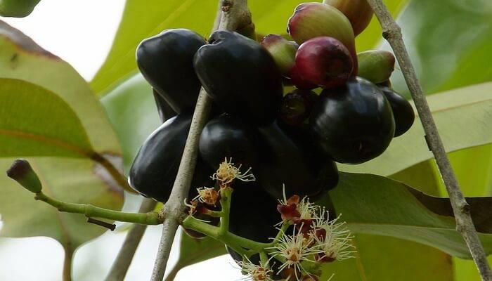 Про лонган: что это такое и как есть, польза и вред, применение в кулинарии