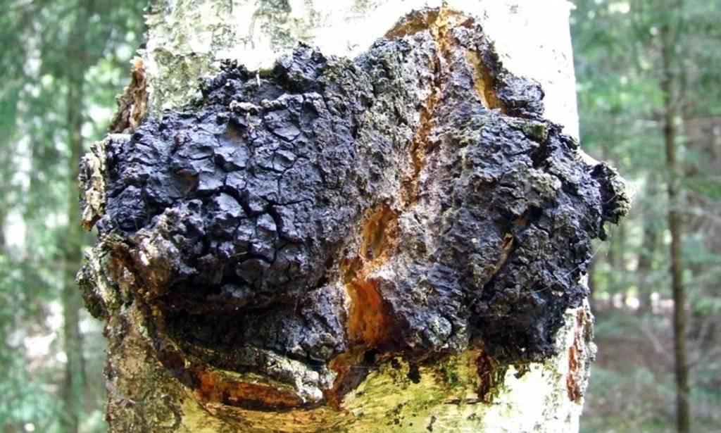 Полезные свойства и применение березового гриба чаги