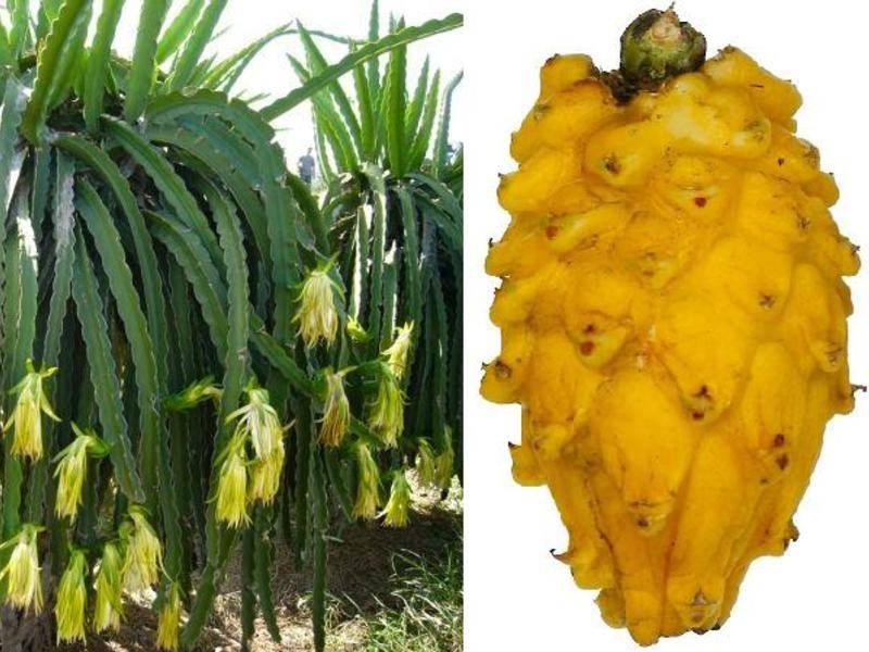 Питахайя — чем полезен драконий фрукт
