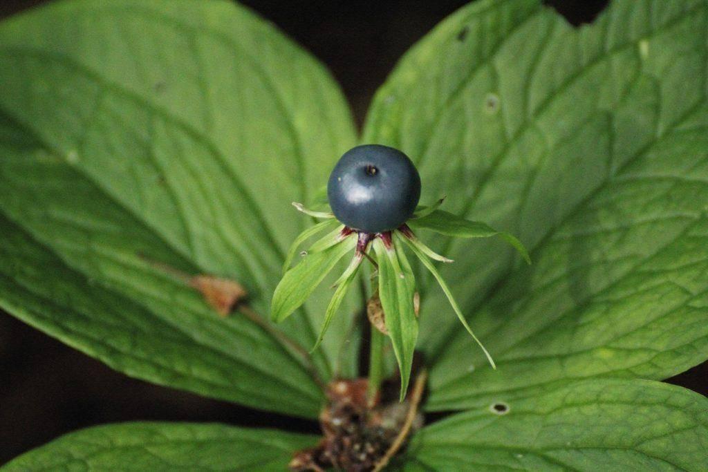 Вороний глаз ядовитый: как выглядит растение и оказывать первую помощь при отравлении