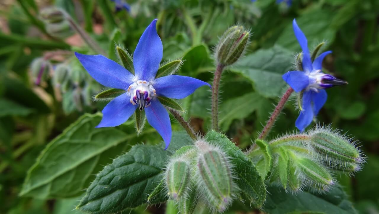 Бораго свойства: описание, состав, польза и вред от растения. 100 фото и обзор применения