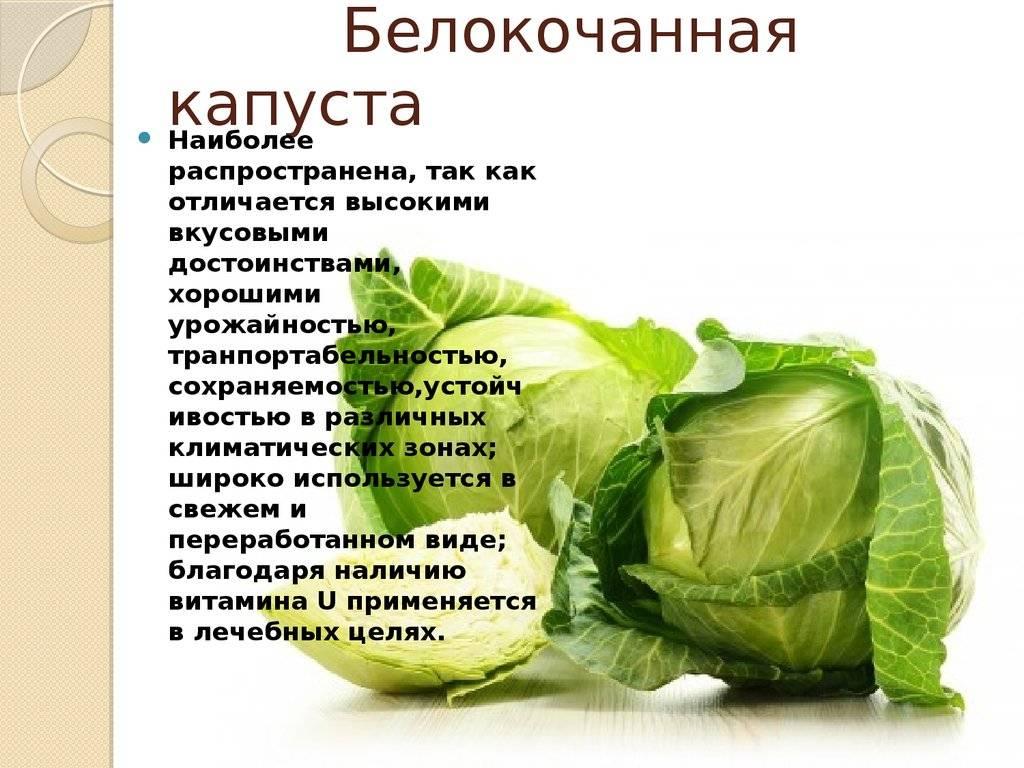 Капустный лист лечебные свойства