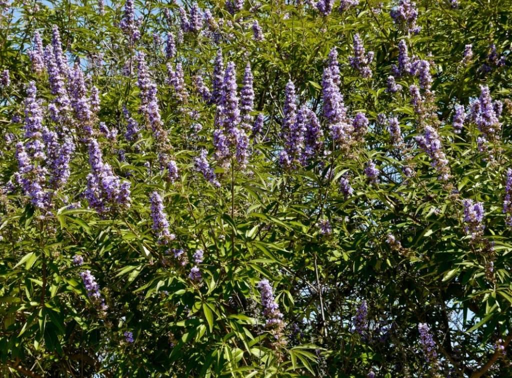 Витекс священный: целебные свойства растения и применение в народной медицине