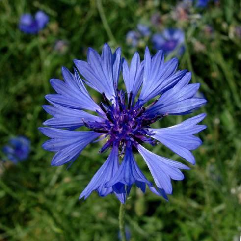Василек синий - описание и применение цветка