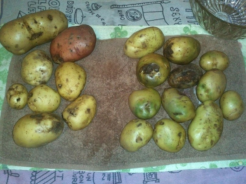 Картошка с зелеными боками: можно ли ее есть, если срезать кожуру?