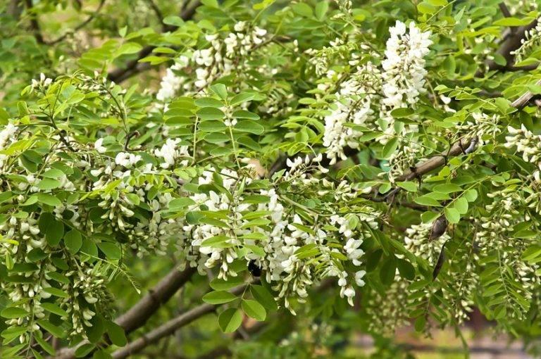 Состав, лечебные свойства и применение белой акации. чем целебны цветки и другие части растения?