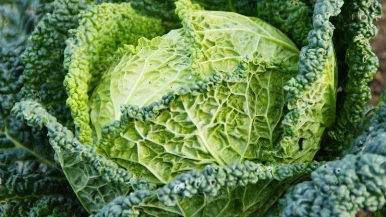 Савойская капуста — польза и вред для здоровья