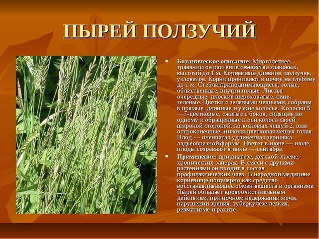 Пырей ползучий — целительный сорняк, не выбрасывайте его!