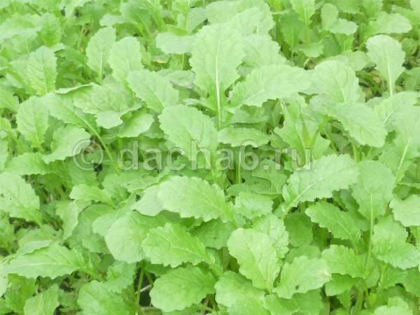 Листья горчицы польза и вред для организма