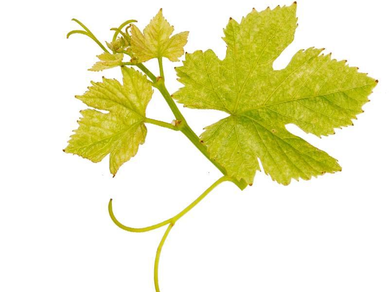 Чай из листьев винограда польза и вред