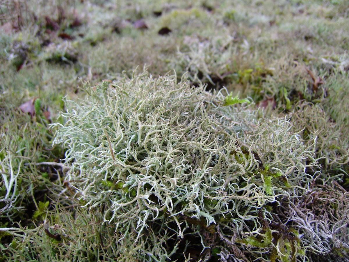 Лечебные свойства исландского мха, противопоказания и рецепты