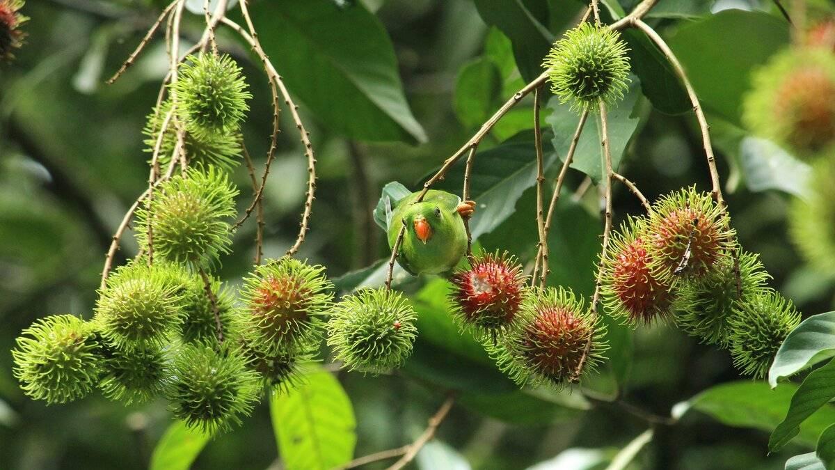 Рамбутан — свойства и польза волосатого фрукта