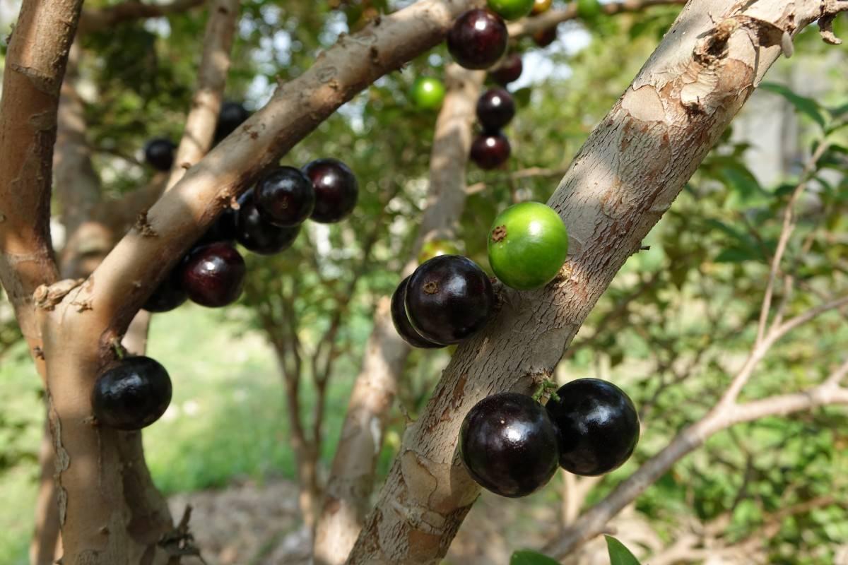 На что похож жаботикаба фрукт (виноградное дерево)
