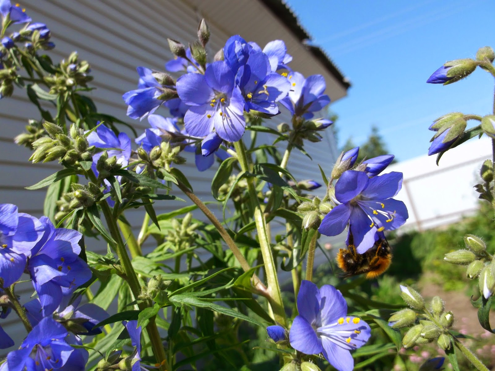 Синюха голубая — лечебные свойства и противопоказания