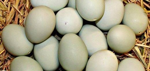 Можно ли употреблять в пищу утиные яйца