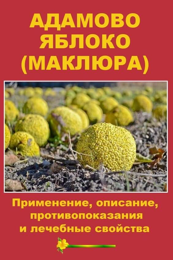 Адамово яблоко (маклюра)— лечебные свойства. рецепты настойки, мази, экстракта наоснове растения