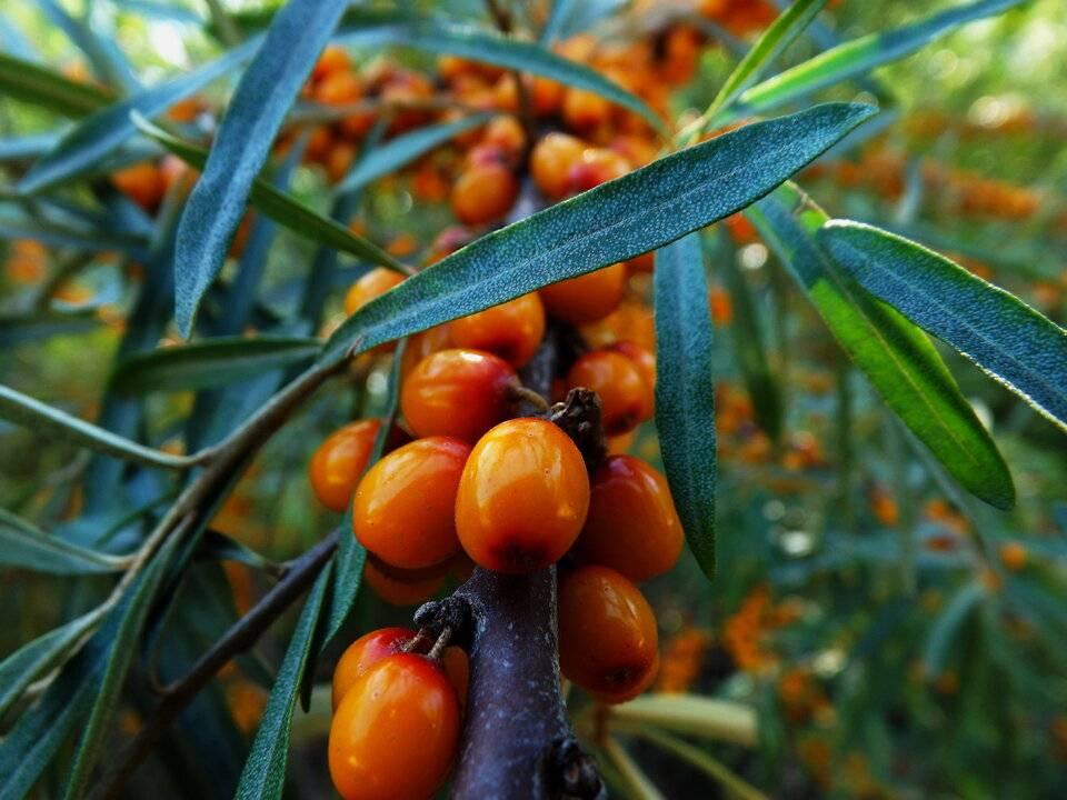 Лечебные свойства листьев облепихи и противопоказания