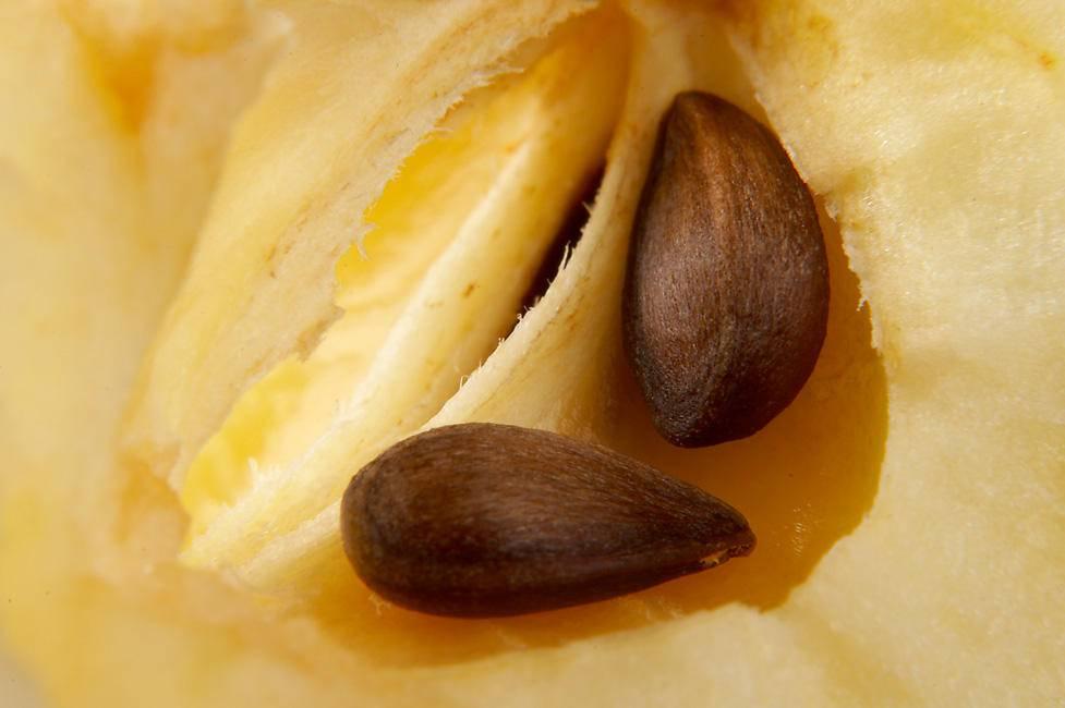 Яблочные семечки польза