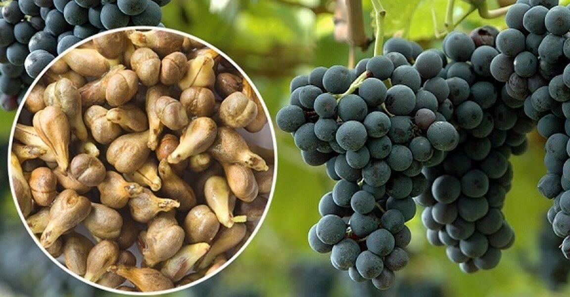 Можно ли есть виноград прямо с косточками