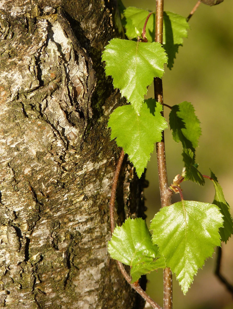 Береза повислая: использование почек, листьев и коры