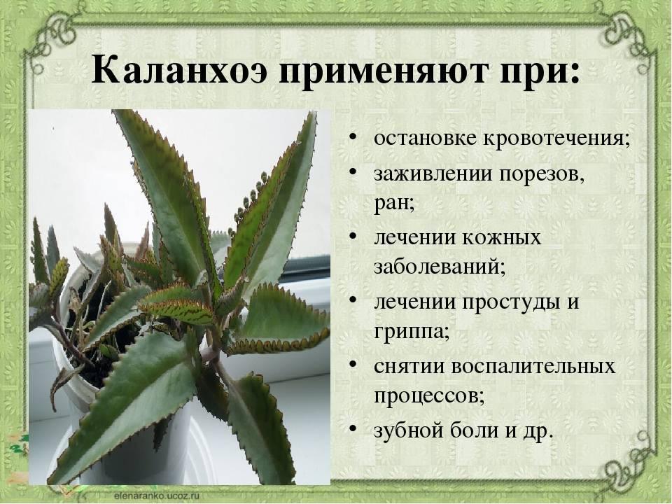 Каланхоэ – лечебные свойства, применение в народной медицине, полезные рецепты