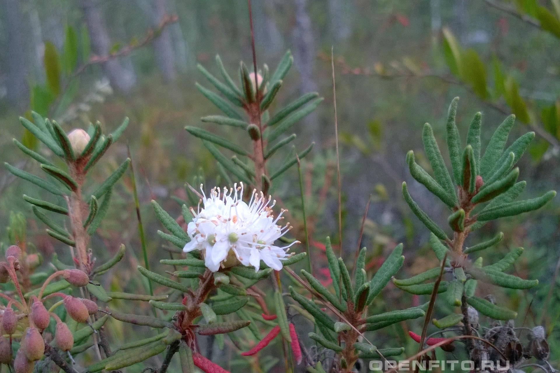 Багульник болотный — лечебные свойства