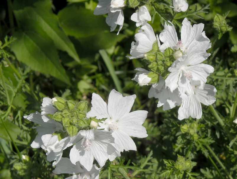 Мальва лесная (просвирник лесной) — лечебные свойства
