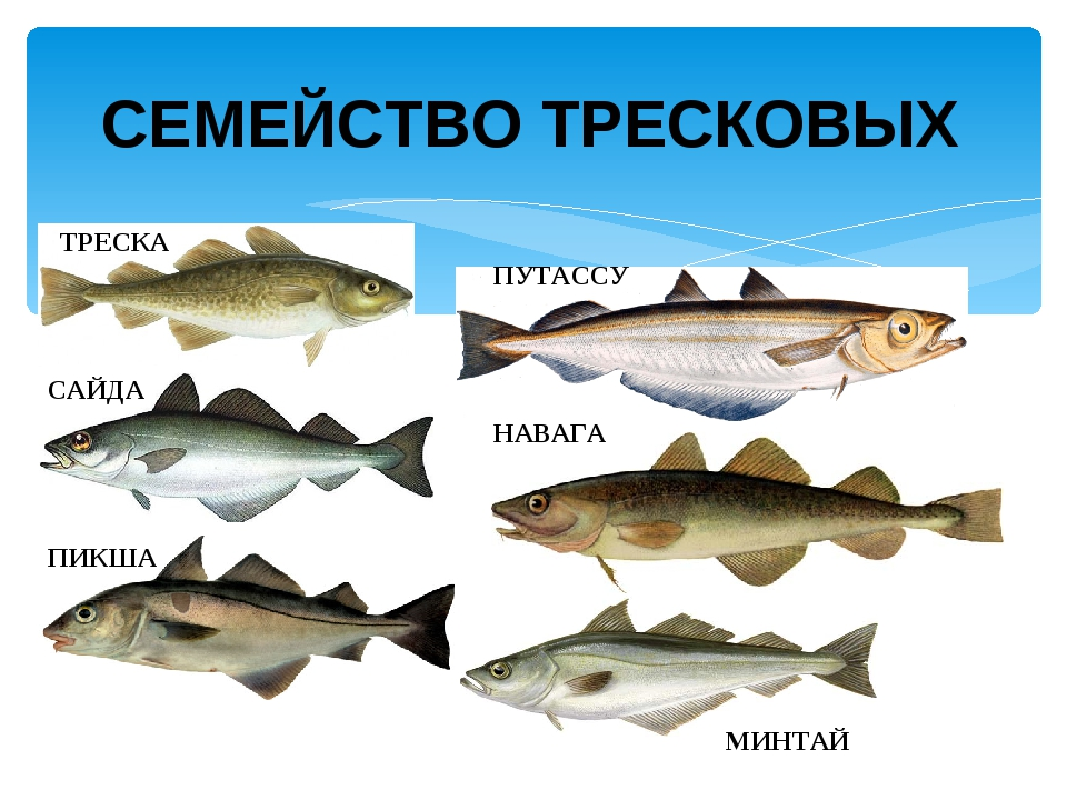 Рыба терпуг: польза и возможный вред