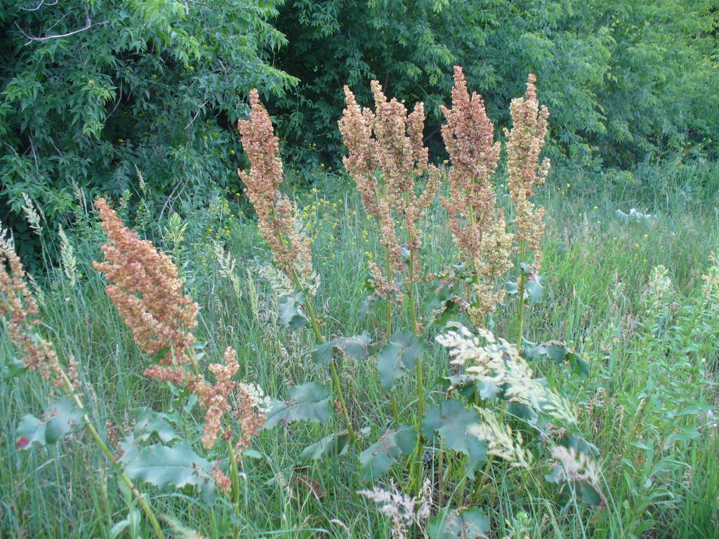 Конский щавель — лечебные свойства и противопоказания