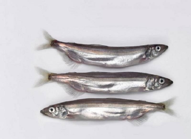 Корюшка рыба: свойства, польза и вред, калорийность. рецепты и как приготовить корюшку