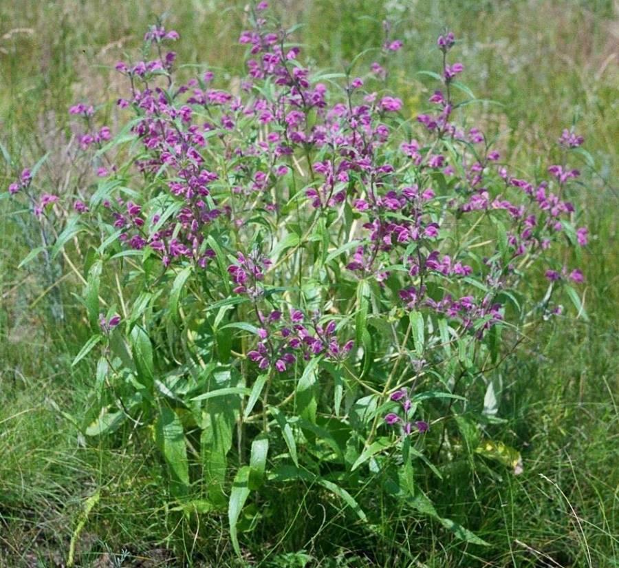 Трава зопник – лечебные свойства
