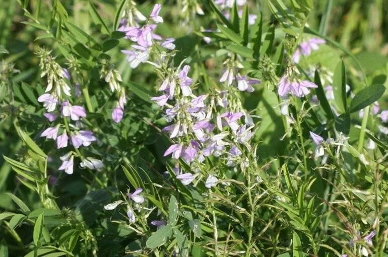 Галега — лечебные свойства травы при сахарном диабете и противопоказания