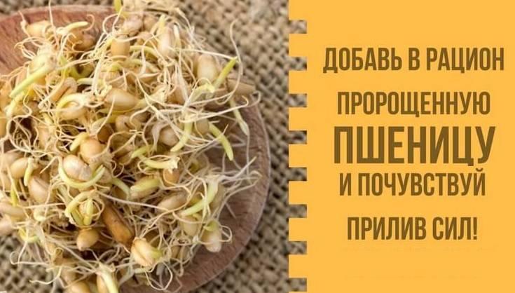 Пророщенная пшеница: полезные свойства, как употреблять, рецепты