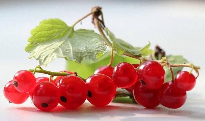 Польза и вред белой смородины для здоровья