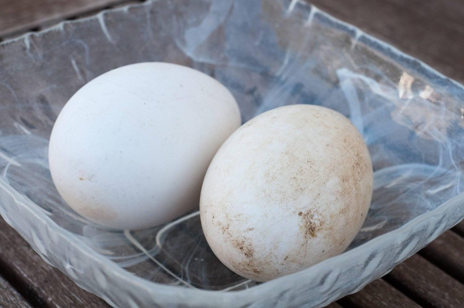 Чем полезны гусиные яйца для мужчин. можно ли есть гусиные яйца? чем отличаются от куриных