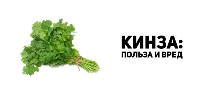 Кинза, польза и вред для здоровья человека