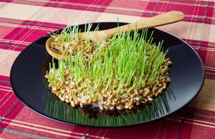 В чем польза пророщенной пшеницы, и как правильно ее принимать