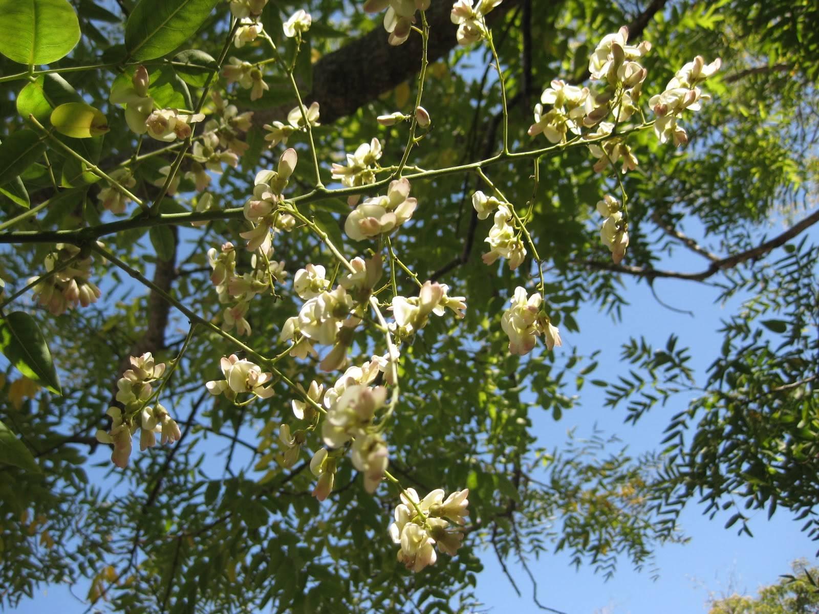 Софора японская: эффективность применения вытяжек изплодов ибутонов