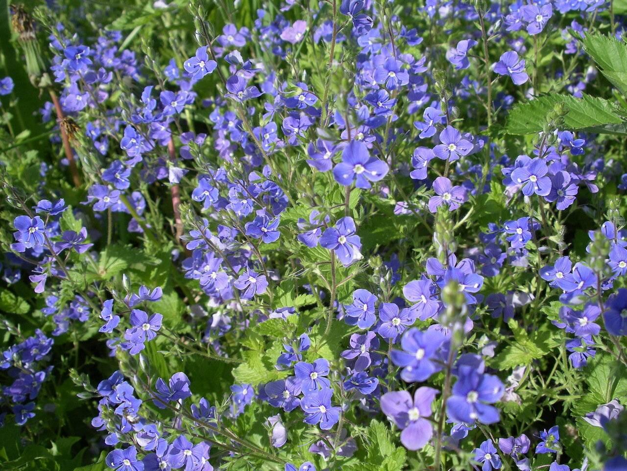 Вероника лекарственная фото травы — свойства растения вероника
