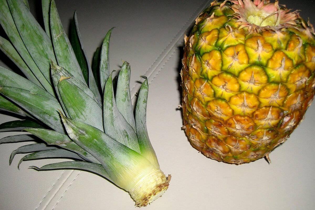 Хранение и созревание ананасов дома