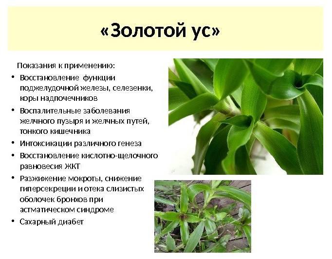 Золотой ус: лечебные свойства, применение, рецепты