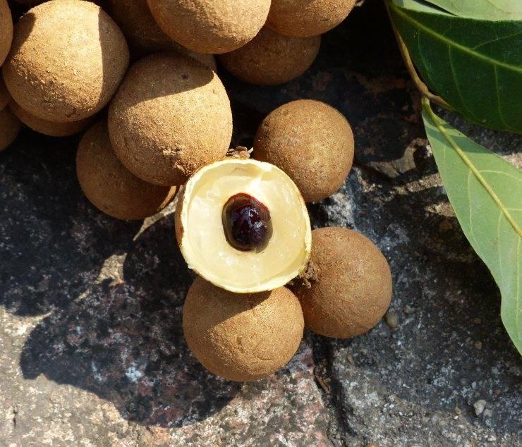 Лонган — полезные свойства и противопоказания. состав, калорийность. как есть лонган? рецепты. как вырастить в домашних условиях